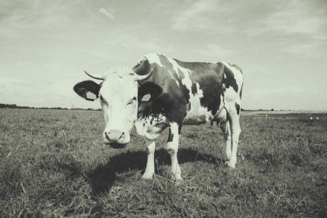 Purple Cow |